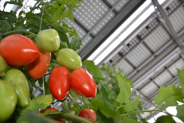 Projekt Symbizon: VHolandsku zkouší pěstovat plodiny pod solárními panely
